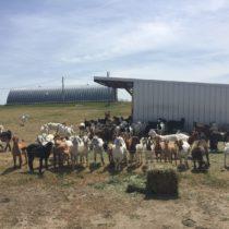 Sheep and Goats on Boviglo